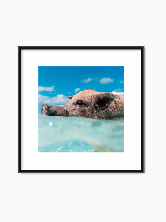Swimming Pig Poster
