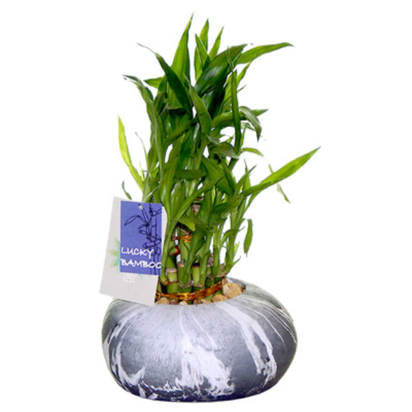 Lucky Bamboo 670491905032 Plant with Black Marble Pot, 7.5""