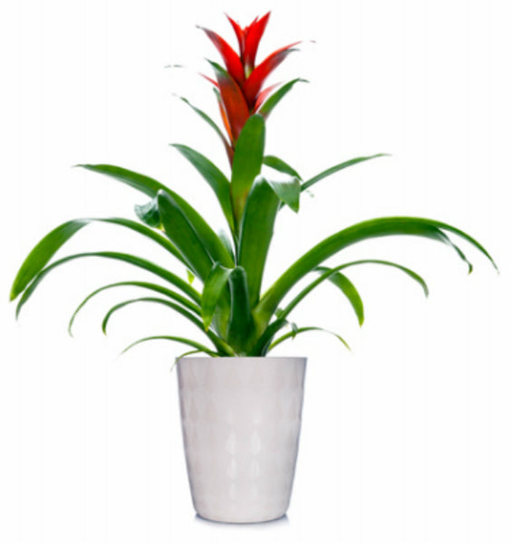 Wild Interiors 08190916 Assorted Colors Bromeliad Plant, 5""