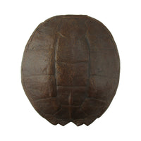 Full Grown Large Sea Turtle Shell Wall Decor
