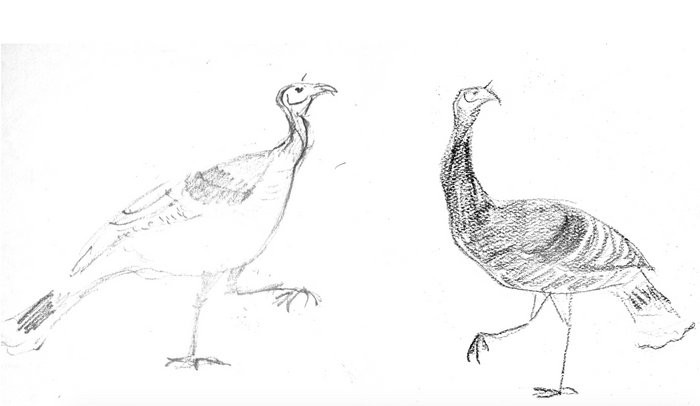 Newsletter #5: Goulds Turkey, History of a Successful Reintroduction