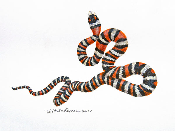 Sonoran Mt Kingsnake