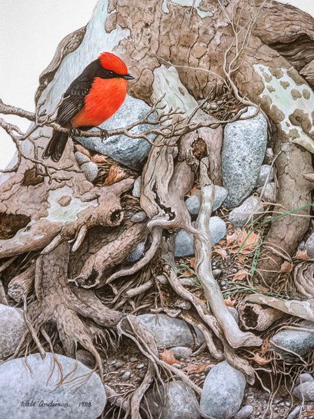 Vermilion Flycatcher, Sycamore roots