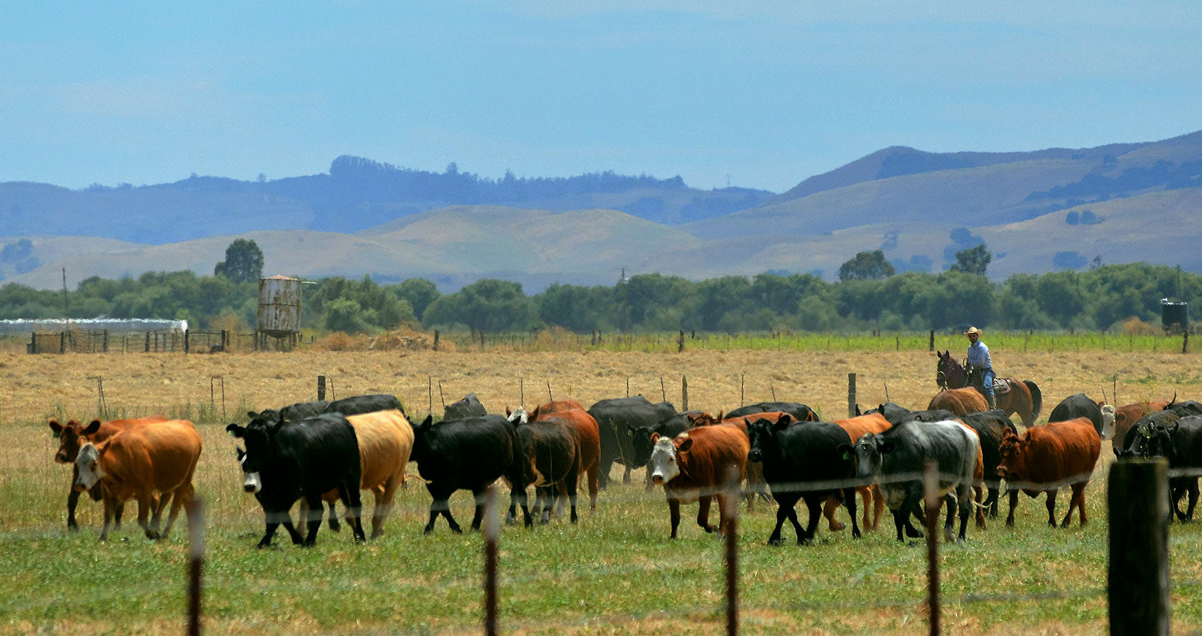 Grass-fed and grass-finished cattle farm in California