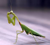 Praying Mantis Kit Preorder Spring 2021