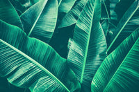 overgrowth large banana leaf tropical jungle wallpaper mural