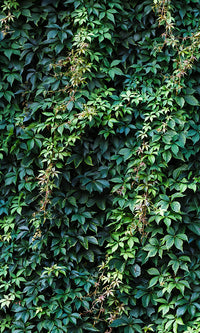 overgrowth climbing ivy leaves living wall nature wallpaper mural