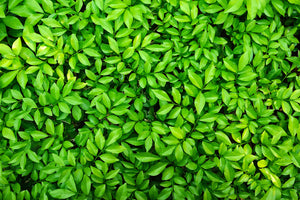 lush leaves living wall wallpaper mural