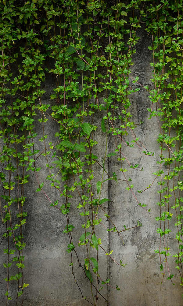 overgrowth concrete wall with ivy living wall wallpaper mural