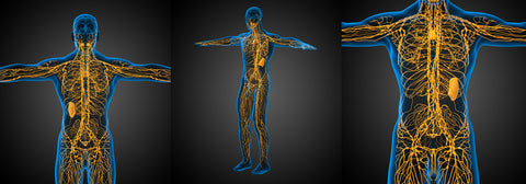 The lymphatic system is a complex circulation network that dictates the immune system and its reactions.