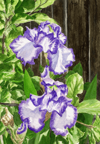 Irises-Giclee on Paper