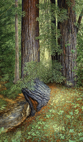 Card, Redwoods, by Edmund Moody