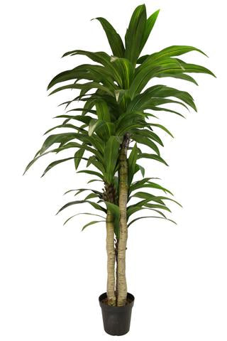 GREEN 5.3 ft Dracaena Artificial Silk Tree in Plastic Pot 4000GR - Phoenix Silk Flower Marketplace