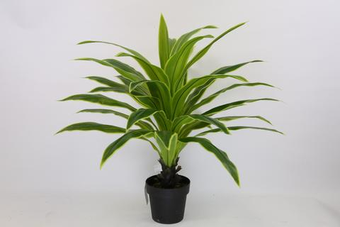 GREEN 3.3 ft Dracaena Artificial Silk Tree in Plastic Pot 4002GR - Phoenix Silk Flower Marketplace