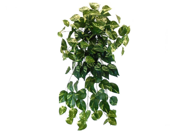 POTHOS Leaves Hanging Bush 25