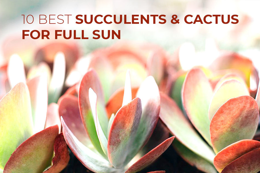 10 best succulents and cacti for full sun