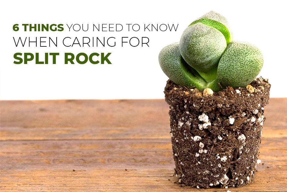 6 things you need to know when caring for Split Rock, Tips for growing split rock