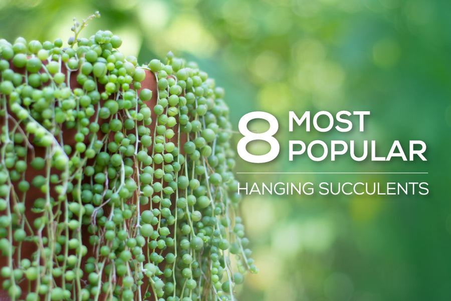 8 most popular hanging succulents, how to care for hanging succulents, trailing succulent for sale, How to grow hanging succulent indoor