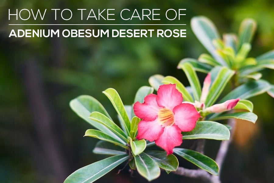 How to care for Adenium Obesum Desert Rose