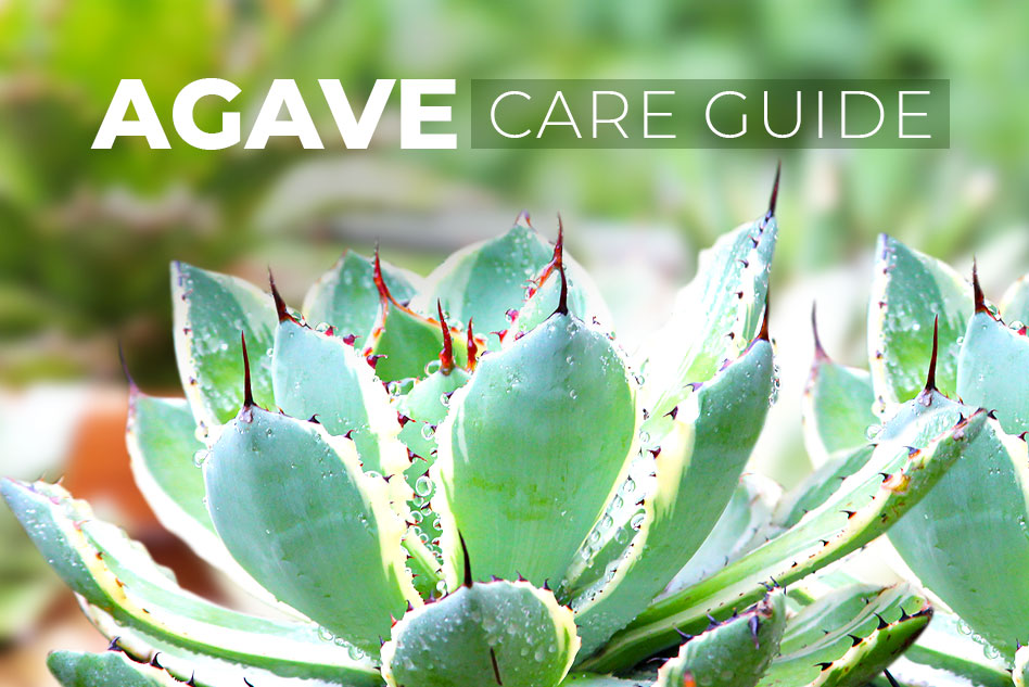General care guide for Agave, Tips for growing Agave Succulents, How to care for Agave Succulents