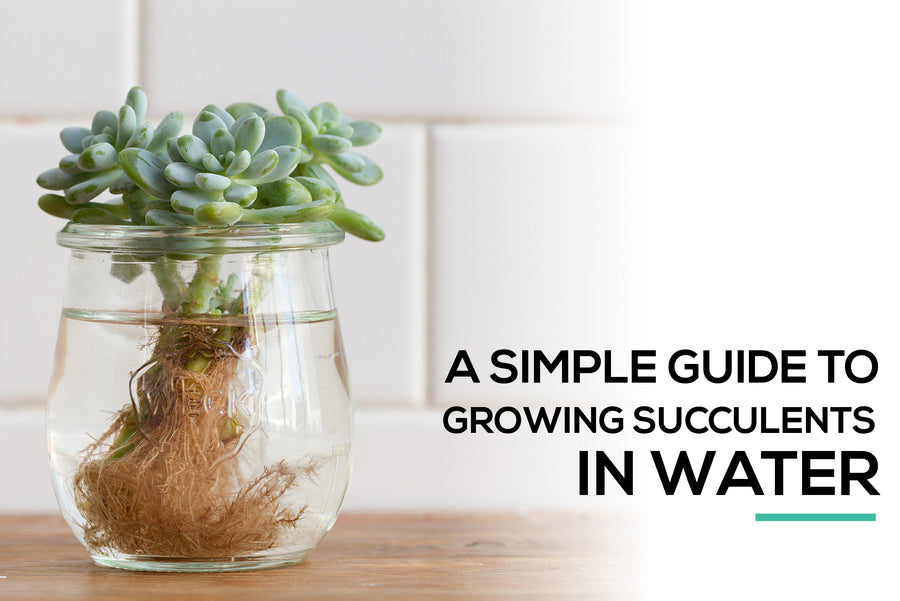 A simple guide to growing succulents in water