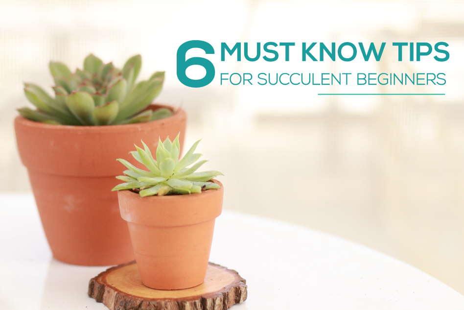 6 Must Know Tips for Succulent Beginners, Succulent plants for beginners, Succulents care guide