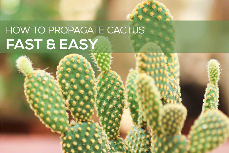 How to propagate cactus easy and fast, Succulent Propagation