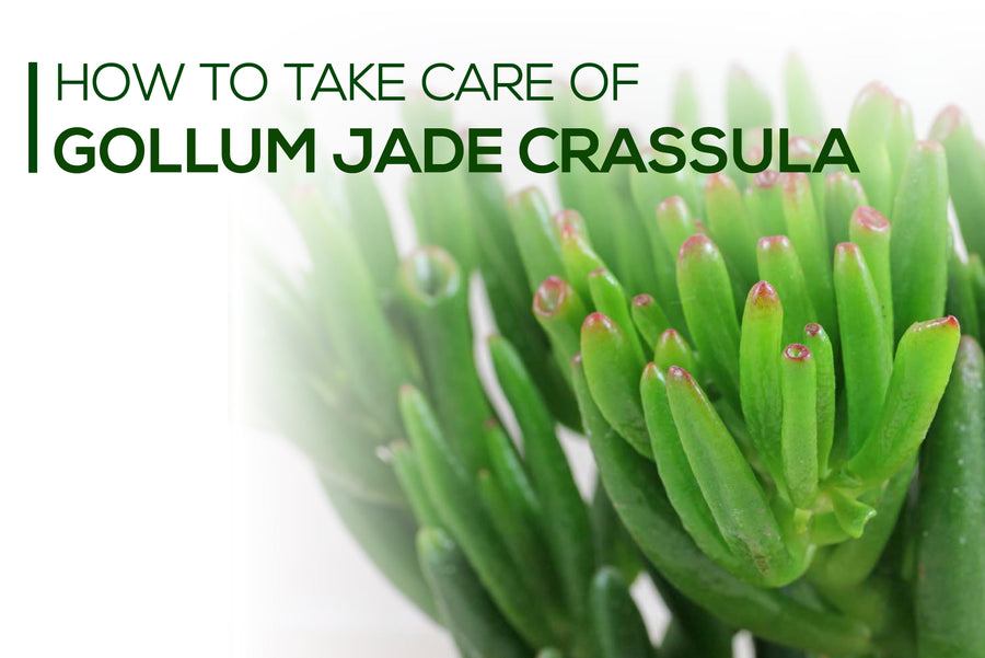 How to take care of Gollum Jade succulent, Tips for growing Crassula Gollum Jade Plant