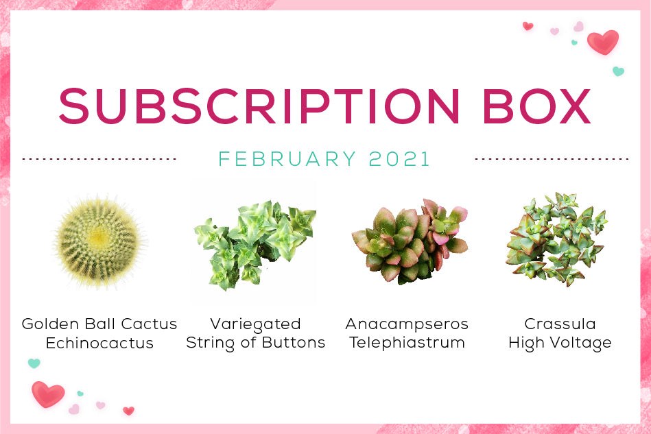 February 2021 Succulent Subscription Box with Care Guide, Best Succulent Subscription Box Delivered Monthly, Succulent Gift Ideas, Succulent Gift for your plant lovers