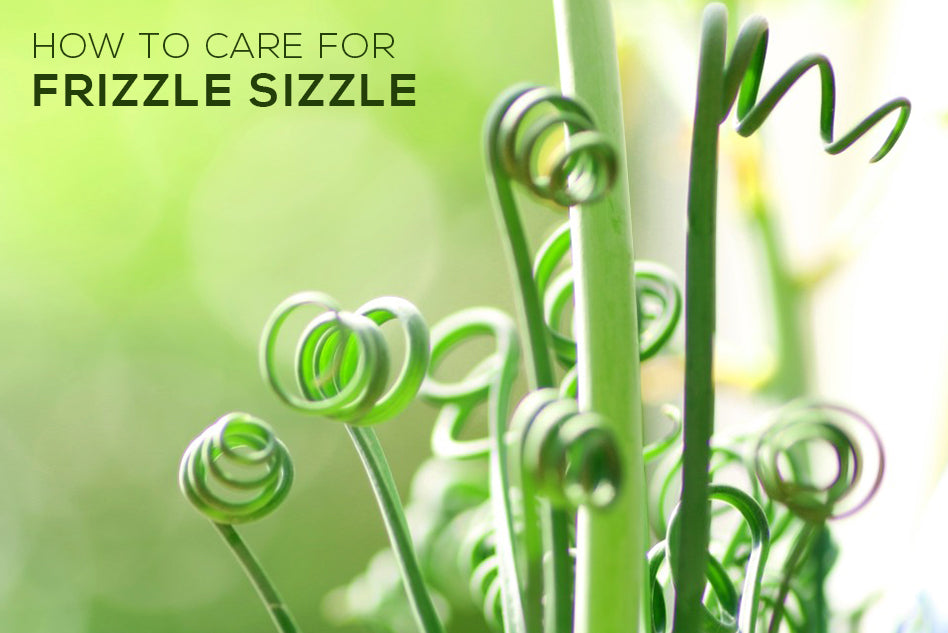 How to Care For Frizzle Sizzle