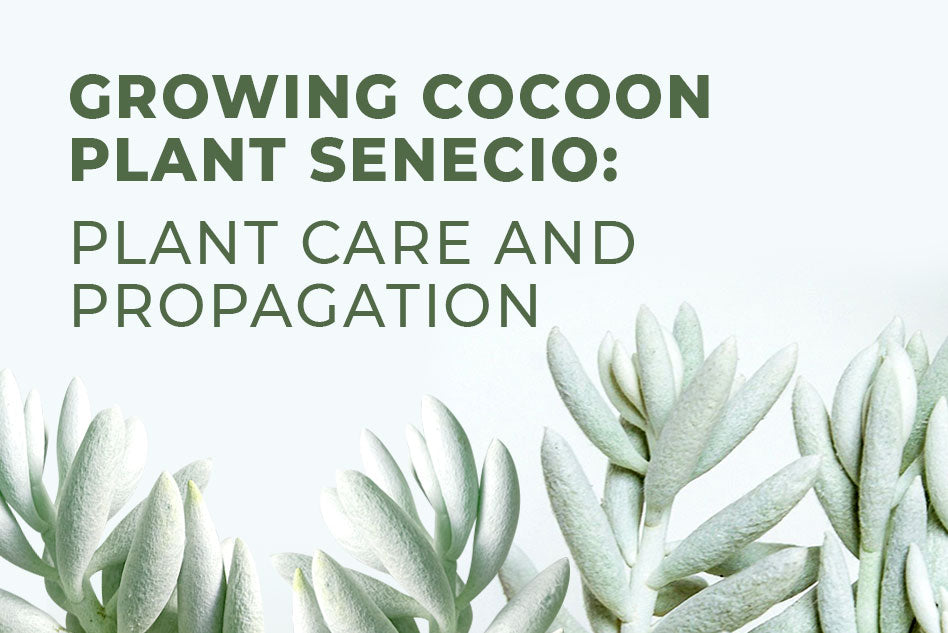 Growing Cocoon Plant Senecio: Plant care and Propagation