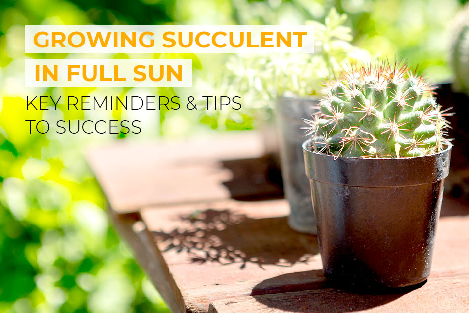 Key reminders to grow succulents in full sun
