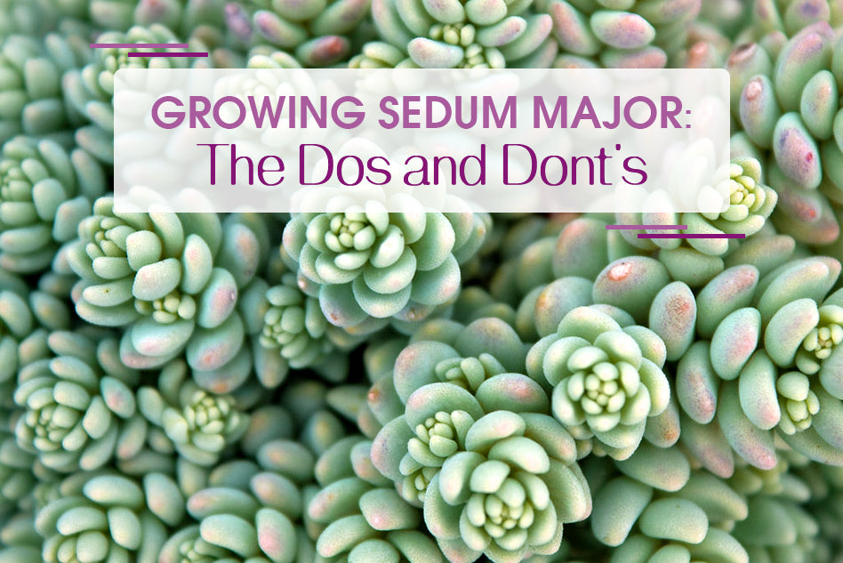 Growing Sedum Major: The Dos and Don'ts