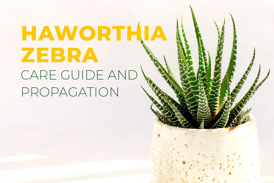 Haworthia zebra, how to grow Haworthia Zebra, succulent care tips, Haworthia zebra plant in California, Care guide and propagation, succulent for beginner