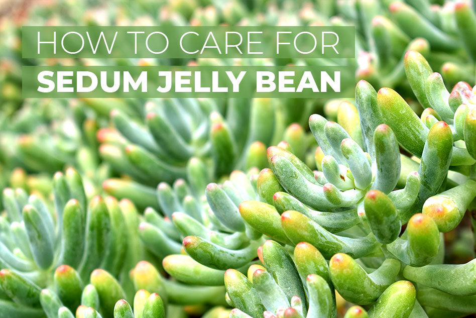 How to care for Sedum Jelly Bean Succulent, How to grow Jelly Bean Sedum, Tips for planting sedum jelly bean
