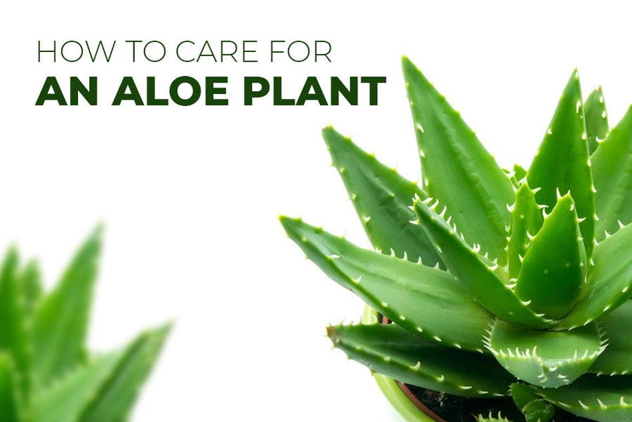 How to care for an aloe plant, Tips for growing aloe succulent plants, Aloe succulent care guide, How to grow aloe plant
