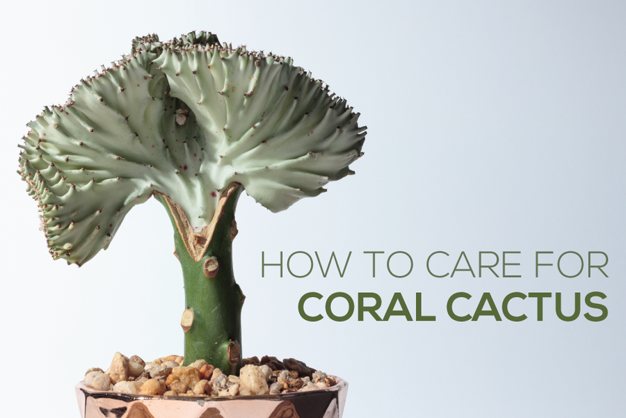 How to plant and care for Coral Cactus