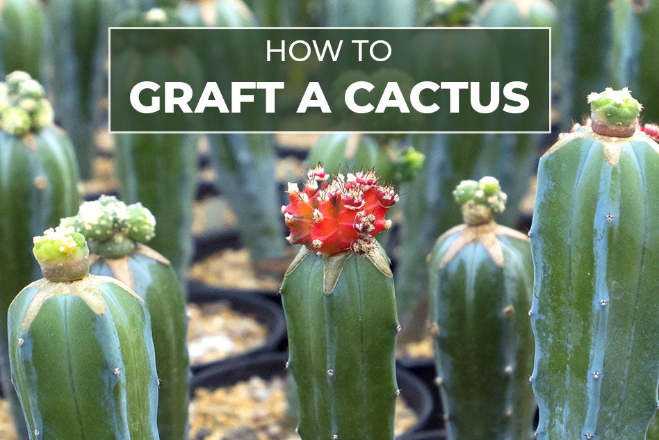 HOW TO GRAFT A CACTUS | Cactus Grafting Guide