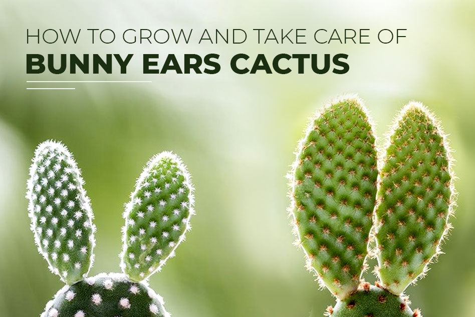 How to grow and take care of Bunny Ears Cactus