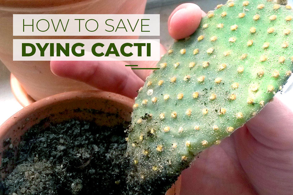 How to save dying cacti