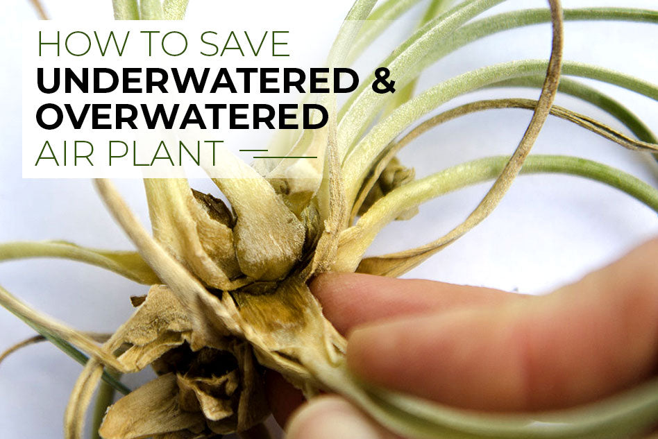 How to save underwatered and overwatered air plants
