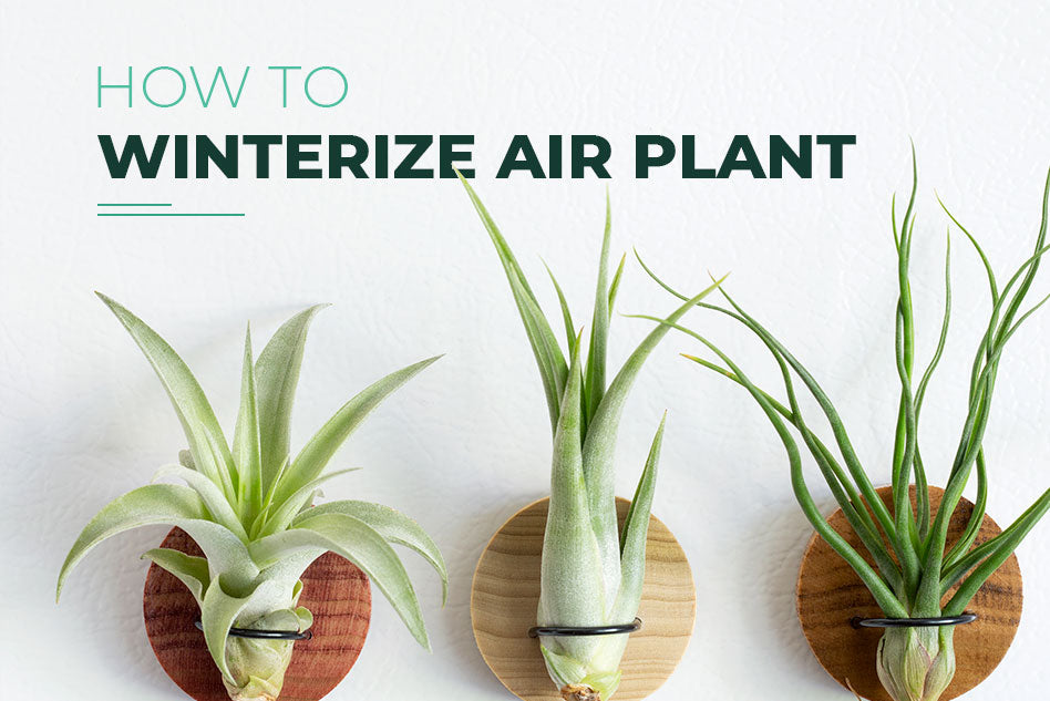 How to winterize your air plants