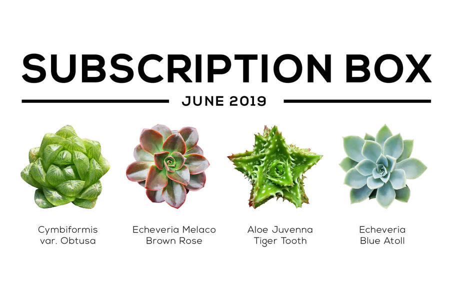 Succulents Box June 2019 Care Guide