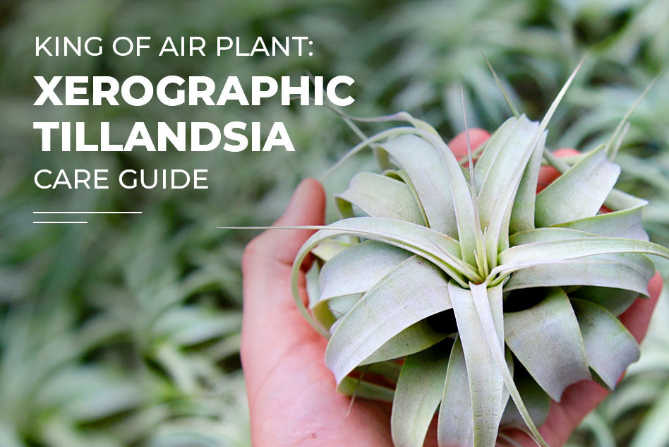 How to care for Xerographica - The King of Air Plants