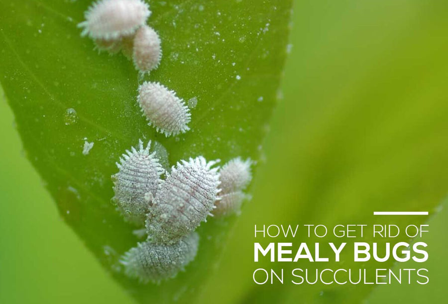 How to get rid of mealy bugs on succulents