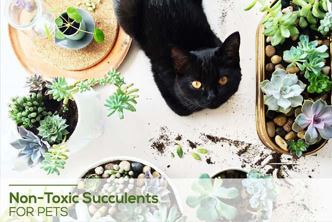 Toxic and Non-Toxic Succulents for Pets, A Collection of Pet-Friendly Succulent Plants