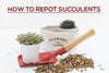 How to Repot Succulents