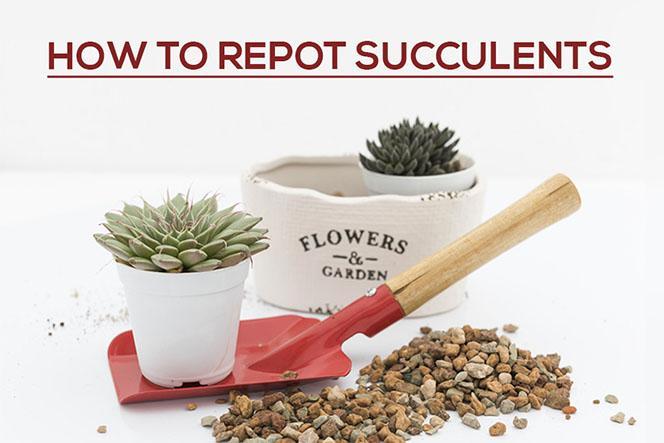 How to Repot Succulents, How to plant succulent plants, How to care for succulents