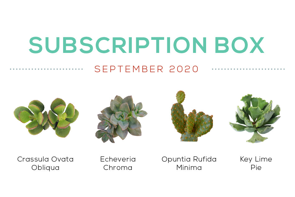 Succulents Box September 2020 Care Guide