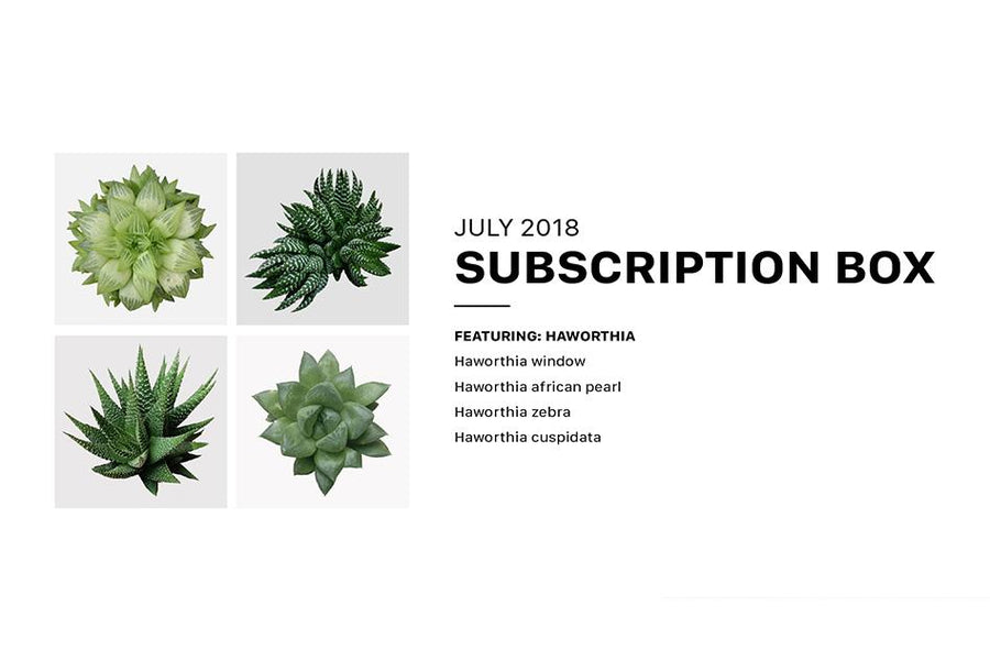 Tips for Growing Haworthia Succulent Plant, Succulents Box Subscription with Care Guide, Succulent Subscription Box Delivered Monthly, How to care for Haworthia Succulent